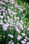 Chives_4